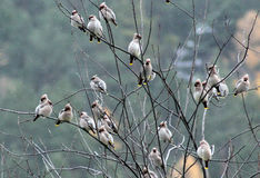 Songbirds waxwings or bombycilla. A flock of birds flew and sat on a tree branch Royalty Free Stock Photography