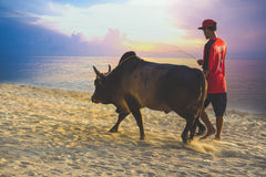 Songkhla, Thaïlande - juin 13,2017 - apportez la vache au gymnase à Image libre de droits