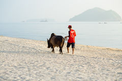 Songkhla, Thailand - June 13,2017 - Bring the cow to the gym at. Samila Beach.Cow fighting is famous in Thailand stock photos