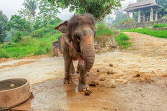 Songkhla Zoo elephants in selected focus. Royalty Free Stock Images