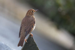 Songthrush. Stock Photography