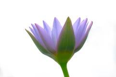 Sonhadora flor de lótus Imagens de Stock