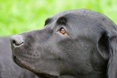 Sonhando o cão Fotografia de Stock