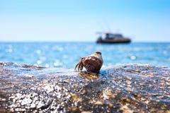 Sonhando o caranguejo de eremita Imagem de Stock