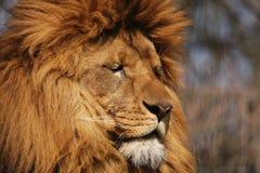 Sonhando o leão Fotografia de Stock Royalty Free