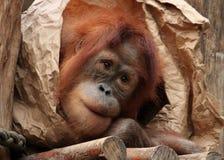 Sonhando o macaco Imagens de Stock