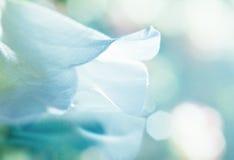 Sonho branco da pétala Imagens de Stock Royalty Free