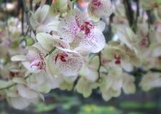 Sonho da orquídea Fotografia de Stock