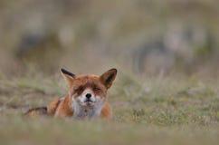 Sonho da raposa de Vos Fotos de Stock Royalty Free