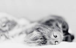 Sonho do cão Imagens de Stock Royalty Free
