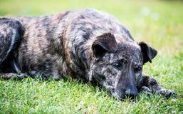 Sonho do cão Fotos de Stock Royalty Free