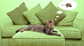 Sonho do gato Imagens de Stock Royalty Free