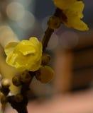 Sonho sob a luz do wintersweet dourado Fotos de Stock Royalty Free