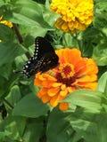 Sonhos da borboleta Fotografia de Stock Royalty Free