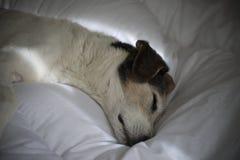Sonhos do cão Fotografia de Stock