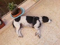 Sonhos do cão Imagens de Stock