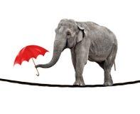słonia balansowanie na linie odprowadzenie Fotografia Royalty Free