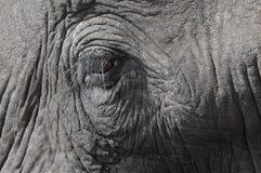 Słonia oko Zdjęcie Stock