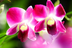 Sonia Orchid Stock Image