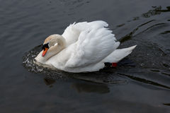 Sonic Swan. Swan accelerating fast through the water, didn't realize they could swim so fast Stock Photos