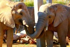 2 słonie Obrazy Royalty Free