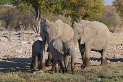 Słonie w Etosha Obrazy Royalty Free