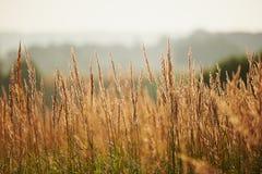 Sonne der Grashalme morgens Stockbild