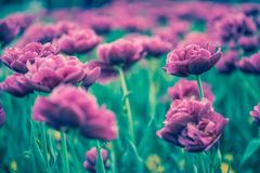 Sonne der Tulpen im Frühjahr Lizenzfreie Stockfotos