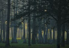 Sonne des frühen Morgens, die durch nebelige Waldfläche mit grasartigem Boden in Süd-Florida, Vereinigte Staaten strömt Vegetatio lizenzfreie stockbilder