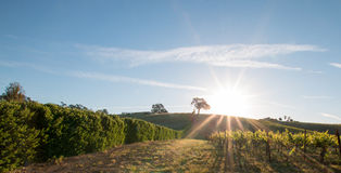 Sonne des frühen Morgens, die nahe bei Tal-Eiche auf Hügel in Weinanbaugebiet Paso Robles im Central Valley von Kalifornien USA s Lizenzfreie Stockfotografie