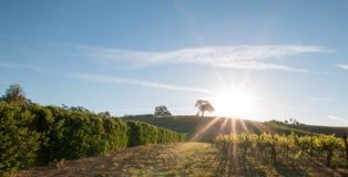 Sonne des frühen Morgens, die nahe bei Tal-Eiche auf Hügel in Weinanbaugebiet Paso Robles im Central Valley von Kalifornien USA s Lizenzfreie Stockfotografie