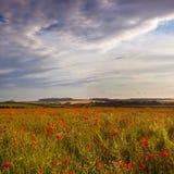 Sonne des späten Abends auf einem Dorset-Mohnblumefeld, Großbritannien Lizenzfreie Stockbilder