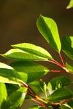 Sonnen-beleuchtete kleine Grünblätter auf unscharfem Hintergrund stockfotografie