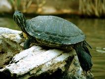 Sonnen der Schildkröte auf Felsen Lizenzfreie Stockbilder