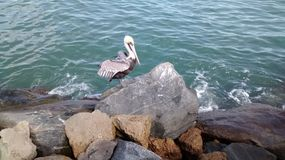 Sonnen des Pelikans lizenzfreie stockfotos