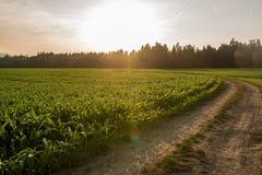 Sonnenaufgang über einem Feld von jungen Maisanlagen Lizenzfreie Stockbilder