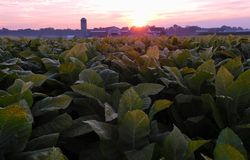 Sonnenaufgang über einem Tabakfeld stockfotografie