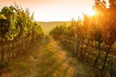 Sonnenaufgang über einem Weinberg Stockfotos