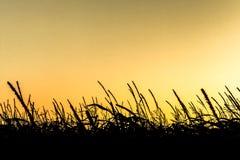 Sonnenaufgang über Maisfeldern Stockbilder