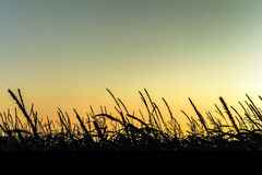 Sonnenaufgang über Maisfeldern Stockfotografie