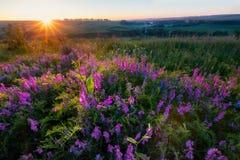 Sonnenaufgang auf dem Gebiet mit violetten Blumen Lizenzfreie Stockfotografie