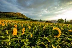 Sonnenaufgang auf dem Sonnenblumenfeld stockfoto