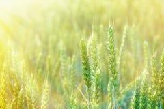 Sonnenaufgang auf einem Gebiet des Weizens stockbilder