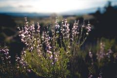 Sonnenaufgang-Blüte Stockfotos
