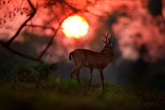Sonnenaufgang in Brasilien Abendsonne, magische Szene mit Rotwild, Pampas-Rotwild, Ozotoceros-bezoarticus, Tierkopf, Tier im Natu Lizenzfreie Stockfotografie