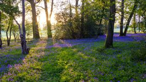 Sonnenaufgang in einem Glockenblumeholz, Hambledon, Hampshire, Großbritannien stockbilder
