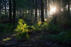 Sonnenaufgang in einem niederländischen Wald Lizenzfreies Stockfoto