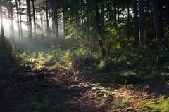 Sonnenaufgang in einem niederländischen Wald Stockbilder