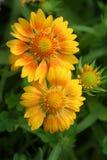 Sonnenaufgang-farbige Gaillardiablüte in einem Sommergarten Lizenzfreies Stockfoto