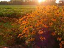 Sonnenaufgang hinter Schwarzes gemustertem Susans Stockfotos